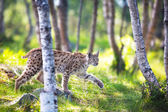 Lynx sneaking in the forest — Stock Photo