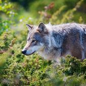 Wolf in een groen veld — Stockfoto
