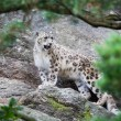 Snow Leopard in the mountain — Foto Stock