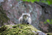 Pallas cat resting — Stock Photo