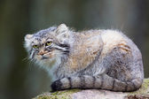 Manul cat laying on a rock — Stock Photo