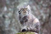 Pallas cat — Stock Photo