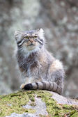 Pallas cat watching out — Stock Photo