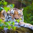 Amur tiger resting in the forest — Stock Photo