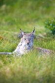 Trots lynx in het gras — Stockfoto