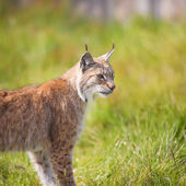 Lynx in the grass — Stock Photo