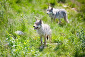 Wolves in nature — Stock Photo