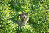 Wolf hide between trees — Stock Photo