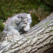 Cute pallas cat kitten playing — Stock Photo