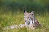 Рысь, укладка в траве — Стоковое фото