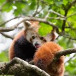 Red panda in tree — Stock Photo