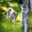 Lynx sneaking in forest — Stock Photo #32738835
