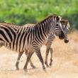 Walking zebra in Ngorongoro — Stock Photo