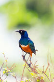 Superb Starling bird in Tanzania — Stock Photo