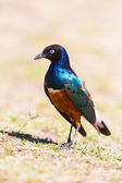 Superb Starling eat a larval — Stock Photo