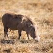 Wart Hog — Stock Photo