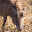 Wart hog in Ngorongoro — Stock Photo