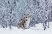 Lynx in the snow — Stock Photo