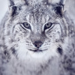 Lynx looking into camera — Stock Photo