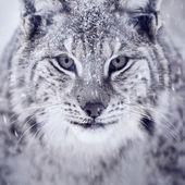 Lynx looking into camera — Stock Photo