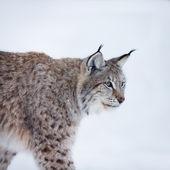 Рысь, прогулки по снегу — Стоковое фото