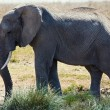 Elephant in Serengti — Stockfoto