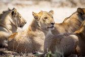 ライオンズの休憩 — ストック写真