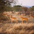 Gazelles in Serengeti — Stock Photo