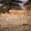 Gazelles running in Serengeti — Stock Photo