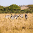 Zebras grazing in Serengeti — Stock Photo