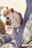 狮子站在一棵树 — 图库照片