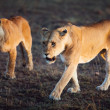 Lions walking in Serengeti — Stock Photo