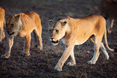 Lions walking in Serengeti — Stock Photo