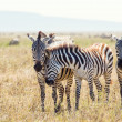 Stock Photo: Zebrfriends in Serengeti Tanzania