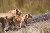 Lion with her two cubs — Stock Photo
