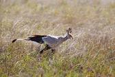 Secretaris vogels wandelen in serengeti — Stockfoto