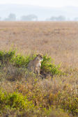 Lioness in the Serengeti — Stock Photo
