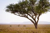 Leopard in a tree — Stock Photo