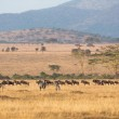Zebras and cape buffaloes in Serengeti — Stock Photo #38881475