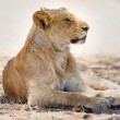 Lion pride rests in Africa — Stock Photo #39080505