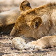 Lion pride sleeping in Africa — Stock Photo