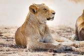 Lion pride rests in Africa — Stock fotografie