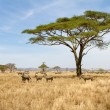 Zebra grazing in Serengeti — ストック写真
