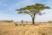 在塞伦盖蒂放牧的斑马 — 图库照片