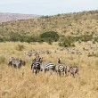 Zebras grazing in Tanzania — Stock Photo #40012545