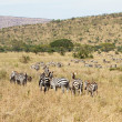 Zebras grazing in Tanzania — Stock Photo