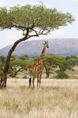 Giraff under ett träd i Afrika — Stockfoto