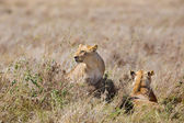 Lions pride in great plains of Serengeti — Stock Photo