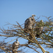 Vulture in Africa — Stock Photo
