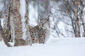 Lynx sneaks in the winter forest — Stock Photo